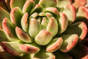 plante succulente de près photo