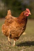 poulets sur une ferme avicole traditionnelle en libre parcours photo