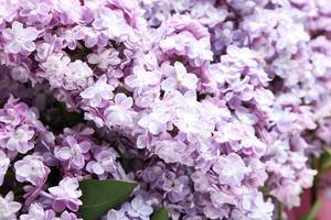 beau lilas bouchent photo