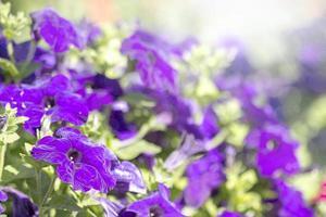 pétunias en fleurs colorées