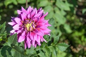 chrysanthème dans un jardin photo