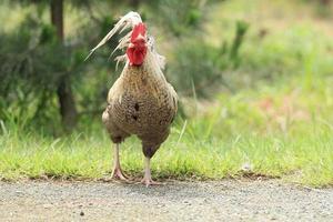 poulet photo
