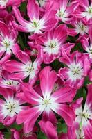 gros plan de tulipes roses