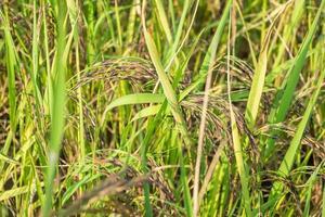 fermé riz aux rizières