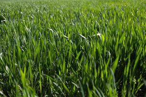 pousses vertes de blé dans le champ photo