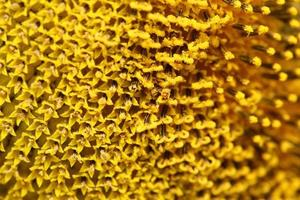 gros plan tournesol pollen photo