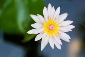 gros plan lotus rose