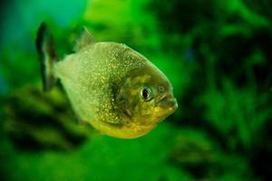 gros plan de poisson piranha photo
