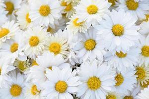 gros plan de fleurs de chrysanthème photo