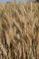 gros plan de blé - fond