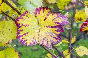 feuilles de vigne, gros plan