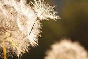 pissenlit fleur. fermer