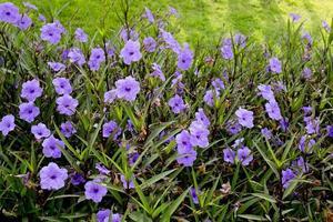 bouchent les fleurs violettes