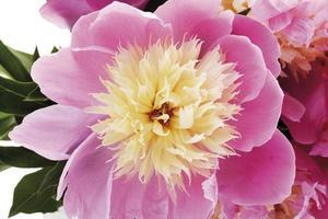 pivoine (paeonia), gros plan photo