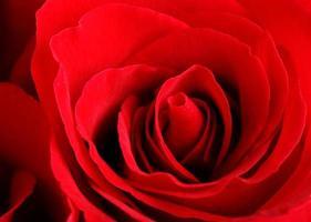 rose gros plan