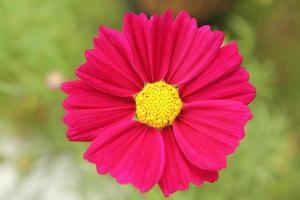 fleur de cosmos, gros plan photo