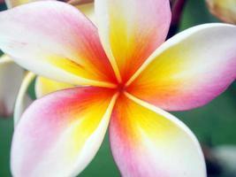 gros plan fleur de frangipanier