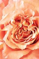 gros plan rose