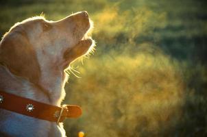 patient labrador photo