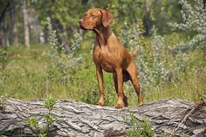 chien de chasse posant en dehors