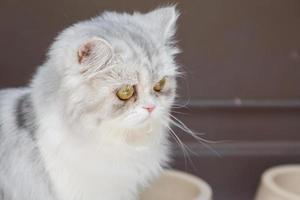 chat persan blanc photo