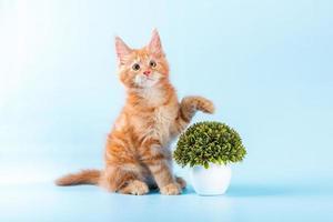 Portrait de chat maine coon sur fond bleu photo