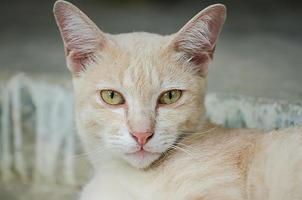 chat aux yeux jaunes photo