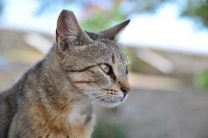 chat écaille de tortue en Grèce photo