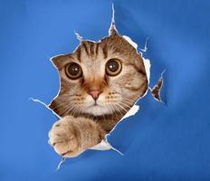chat dans le trou de papier chromakey bleu photo