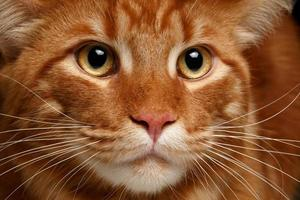 gros plan rouge maine coon photo