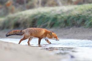 renard roux traversant un ruisseau. photo