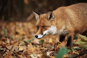 renard sur la forêt d'automne photo