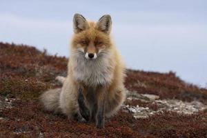 rotfuchs, renard roux photo