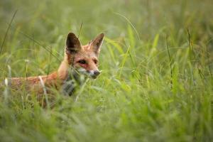 renard à l'état sauvage photo