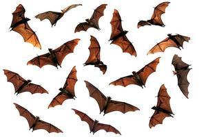 effrayant halloween battant renard chauves-souris encerclant dans le ciel photo