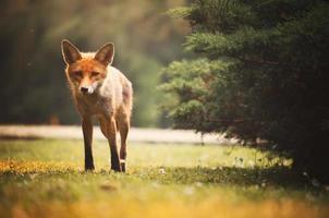 renard sur la forêt d'été photo