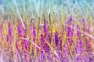 floraison pourpre prairie fleur