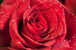 fleur rose rouge closeup