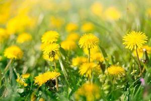 fleur de printemps - fleurs de pissenlit