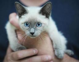 chaton de mélange siamois photo