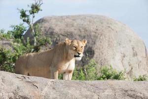 Lionne et oursons interactiong dans le parc national de Serengetti photo