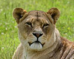 lion africain photo