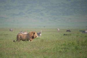 Lion mâle dans le parc national de Serengetti, Tanzanie photo