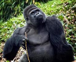 gorille dos argenté (mâle) photo