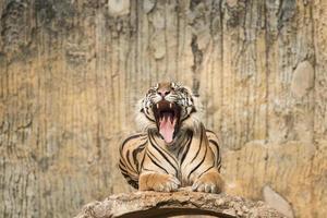 tigre de sumatran photo