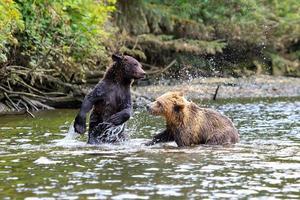grizzlys photo