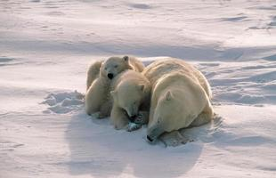 ours polaires dans l'arctique canadien photo