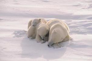 ours polaire avec ses petits, lumière du soleil arctique filtrée douce