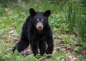 ours noir sur madeline photo