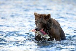 grizzly avec de la nourriture photo